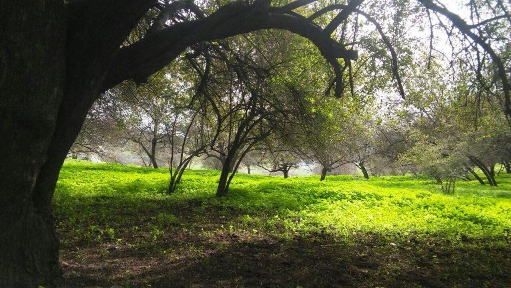 עצי שיזף בעין חבקוק